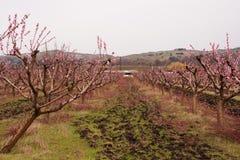 春天玫瑰色开花的桃子庭院胡同 免版税库存照片