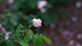 春天玫瑰色花在庭院里 免版税图库摄影