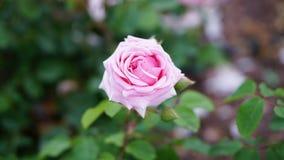 春天玫瑰色花在庭院里 库存照片