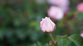 春天玫瑰色花在庭院里 库存图片