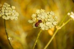 春天甲虫在一束白花联接 免版税库存图片