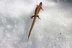 春天电话  怀孕的蜥蜴叫醒并且横渡多雪的表面 库存图片