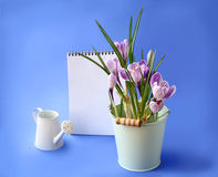 春天番红花和空的笔记本在蓝色背景 免版税库存图片
