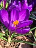 春天番红花在佛蒙特 库存图片