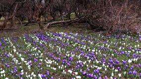 春天番红花花蓝色和白色嫩精美淡色草甸在有神奇下落的树的城市公园  股票视频
