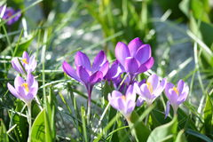 春天番红花 库存照片