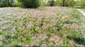春天白头翁草甸-独特的自然图片 免版税库存图片