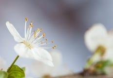 春天白色开花 免版税图库摄影