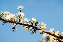 春天白色树 库存图片