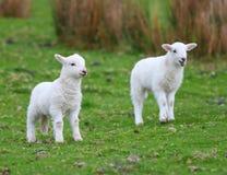 春天白色羊羔 库存照片
