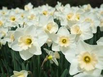 春天白色黄水仙开花 库存图片