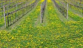 春天的一个美丽的葡萄园的蒲公英已经充分开花 免版税图库摄影