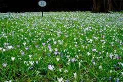 春天的信使的领域 库存图片