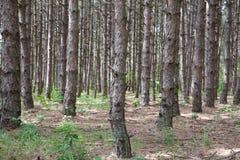 春天的松树森林 库存照片