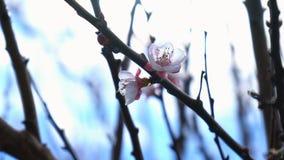 春天的第一个标志有春天开花的在树宏指令关闭 免版税库存图片