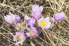 春天的第一个符号 在绽放的番红花花 库存图片