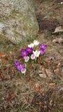 春天的第一个符号 免版税库存照片