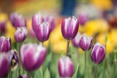 春天的第一朵番红花花 免版税图库摄影