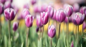 春天的第一朵番红花花 库存照片