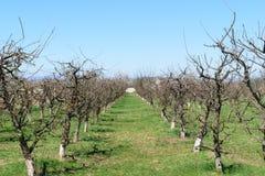 春天的苹果树果树园 苹果树线与春天芽的 免版税库存图片