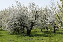 春天秀丽看开花的果树园 免版税库存照片