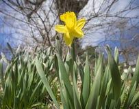 春天第一个黄水仙  免版税库存照片