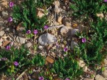 春天第一朵花在沙漠 库存图片