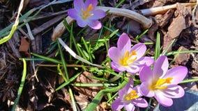 春天第1朵番红花  库存照片
