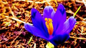 春天紫色  库存照片