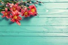 春天红色郁金香开花,在绿色的杨柳分支 免版税库存照片
