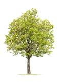 春天结构树核桃 免版税库存照片