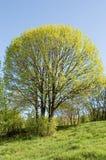 春天结构树 图库摄影