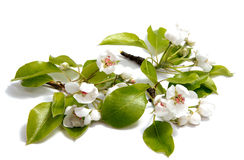 春天绽放在白色背景的樱桃花 库存照片
