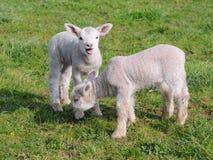 春天羊羔 免版税库存图片