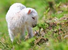 春天羊羔 图库摄影