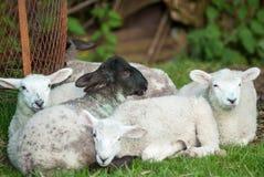 春天羊羔 库存照片