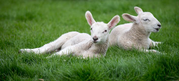 春天羊羔 免版税库存照片