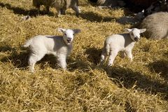 春天羊羔 库存图片