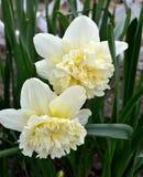 春天美丽的水仙 库存图片