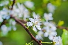春天美好的图片 作为芽,叶子,开花樱桃 庭院树,蚂蚁宏观花  免版税库存图片
