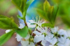 春天美好的图片 作为芽,叶子,开花樱桃 庭院树,蚂蚁宏观花  免版税库存照片