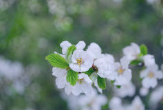 春天美好的进展的苹果树或樱桃分支 一棵树的春天分支,与开花的白色小花 免版税库存图片