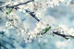 春天美好的进展的苹果树或樱桃分支 一棵树的春天分支,与开花的白色小花 库存照片