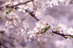 春天美好的进展的苹果树或樱桃分支 一棵树的春天分支,与开花的白色小花 免版税库存照片