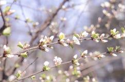 春天美好的进展的苹果树或樱桃分支 春天背景 关闭 一棵树的春天分支,与blossomi 免版税库存照片