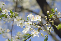 春天美好的进展的苹果树或樱桃分支 春天背景 关闭 一棵树的春天分支,与blossomi 库存图片