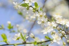 春天美好的进展的苹果树或樱桃分支 春天背景 关闭 一棵树的春天分支,与blossomi 免版税库存图片