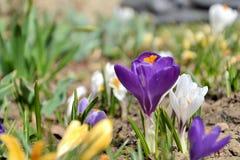 春天美景-五颜六色的番红花花 库存照片