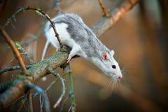 春天老鼠 库存照片