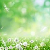 春天背景用蒲公英 免版税库存照片